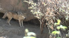 Mexican Wolf Lone Spring Stock Footage
