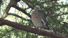 White-winged Dove Lone Spring Stock Footage