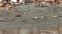 Spotted Sandpiper Adult Lone Spring - stock footage