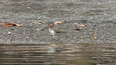 Spotted Sandpiper Adult Lone Spring Stock Footage