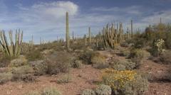 Desert Organ Pipe Cactus National Monument Spring Saguaro Sonoran Pan - stock footage