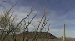 Ocotillo Flower Spring Desert Plant Stock Footage