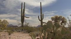 Saguaro Cactus Pair Spring Stock Footage