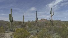Saguaro Cactus Several Spring Desert Stock Footage