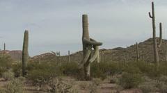 Saguaro Cactus Spring Stock Footage