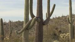Saguaro Cactus Pair Spring Arms Stock Footage