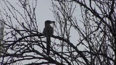 Roadrunner Lone Hunting Spring Predation Kill - stock footage