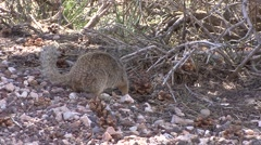 Golden-mantled Ground Squirrel Lone Spring - stock footage
