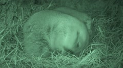 Black-tailed Prairie Dog Pair Feeding Spring Burrow Chamber Nest Underground - stock footage