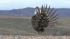 Sage Grouse Male Adult Pair Breeding Spring Booming Courtship Display - stock footage