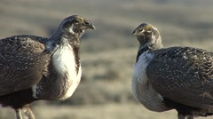 Sage Grouse Male Adult Pair Aggressive Spring Threatening Territory - stock footage
