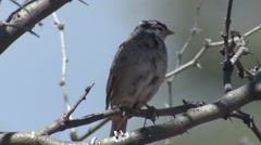 White-crowned Sparrow Lone Spring - stock footage