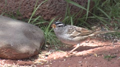 White-crowned Sparrow Lone Feeding Spring - stock footage