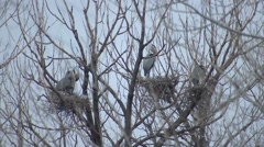 Great Blue Heron Adult Several Nesting Spring Rookery Colony Stock Footage