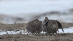 Stock Video Footage of Sharp-tailed Grouse Cock Adult Pair Spring Standoff Display