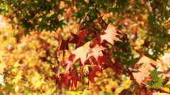 RED LEAVES CLOSE UP 2 - stock footage