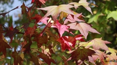 BEAUTIFUL RED FALL LEAVES CLOSE - stock footage