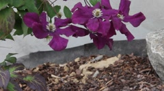 Purple clematis vine growing on a trellis outdoors Stock Footage