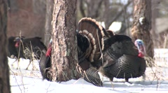 Turkey Male Adult Several Walking Spring Snow Tail Display Stock Footage
