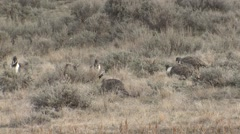 Sage Grouse Male Adult Several Walking Spring Stock Footage