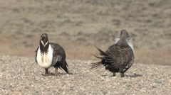 Sage Grouse Male Adult Pair Spring Road Zoom Out - stock footage