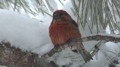 Red Crossbill Male Adult Lone Winter Snow Pine - stock footage