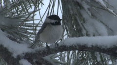 Stock Video Footage of Black-capped Chickadee Lone Winter Snow Snowing Pine