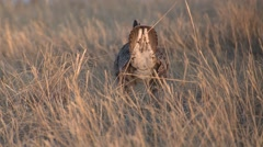 Prairie Chicken Male Adult Lone Breeding Spring Courtship Display Lek Booming Stock Footage