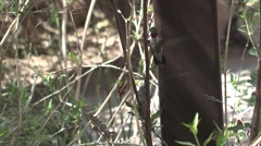 Broad-tailed Hummingbird Male Female Adult Pair Breeding Spring Courtship Slow Stock Footage
