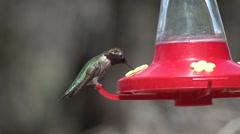 Annas Hummingbird Male Adult Lone Feeding Spring Feeder Nectar Slow Motion Stock Footage