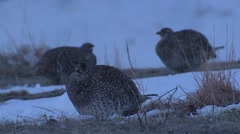 Sharp-tailed Grouse Male Adult Several Feeding Spring Dawn Fighting Slow Motion Stock Footage