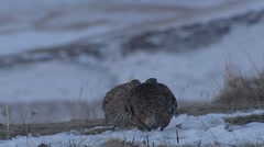 Sharp-tailed Grouse Male Adult Pair Fighting Spring Dawn Lek Breeding Grounds Stock Footage