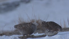 Sharp-tailed Grouse Male Adult Pair Fighting Spring Dawn Lek Breeding Ground Stock Footage
