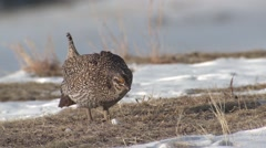 Sharp-tailed Grouse Male Adult Pair Fighting Spring Walking Strutting Slow Stock Footage