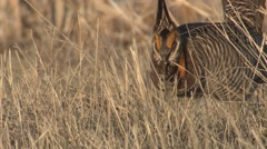 Prairie Chicken Male Adult Lone Breeding Spring Stock Footage