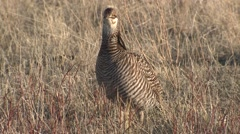 Prairie Chicken Male Adult Lone Feeding Spring Stock Footage