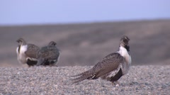Sage Grouse Male Adult Several Breeding Spring Dawn Road - stock footage