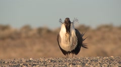 Sage Grouse Male Adult Lone Breeding Spring Courtship Display Boom Booming - stock footage