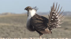 Sage Grouse Male Adult Lone Breeding Spring Display Throat Sac Boom - stock footage