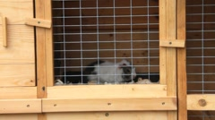 Guinea pig in a wooden cage Stock Footage