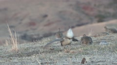 Sharp-tailed Grouse Male Female Adult Several Breeding Spring Dawn Lek Stock Footage