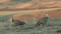 Sharp-tailed Grouse Cock Adult Several Breeding Spring Dawn Dancing Strutting Stock Footage