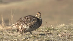Sharp-tailed Grouse Male Adult Calling Spring Dawn Boom Cackle - stock footage