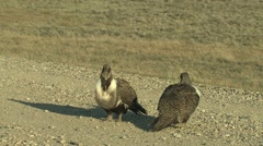 Sage Grouse Male Adult Pair Aggressive Spring Lek - stock footage
