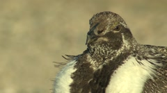 Sage Grouse Male Adult Lone Spring Face Beak Feet Tilt Down - stock footage