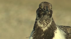 Sage Grouse Male Adult Pair Fighting Spring Cackling Wing Flap - stock footage