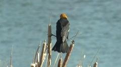 Yellow-headed Blackbird Male Adult Lone Spring Stock Footage