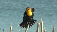 Yellow-headed Blackbird Male Adult Lone Calling Spring Display Singing Stock Footage