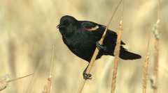 Red-winged Blackbird Male Adult Lone Spring Stock Footage