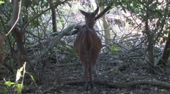 Bushbuck Doe Adult Winter Stock Footage